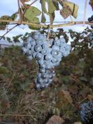 Виноград неукрывной Неретинский